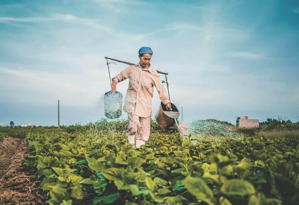 Farmer in the field watering plants